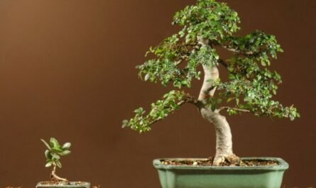 Small-leaved indoor elm - capricious and majestic