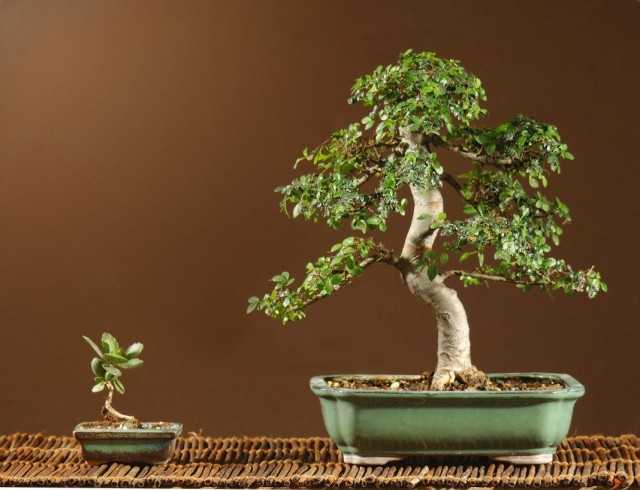 Small-leaved indoor elm – capricious and majestic