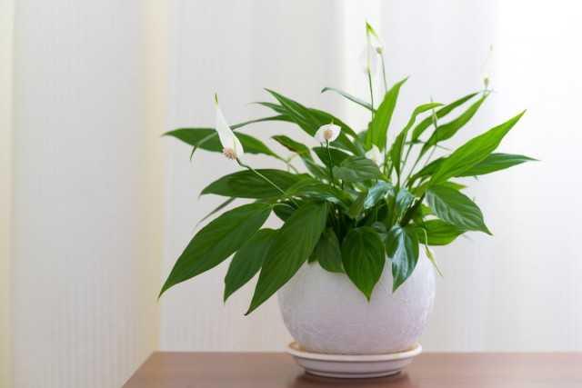 Spathiphyllum – white sail – care