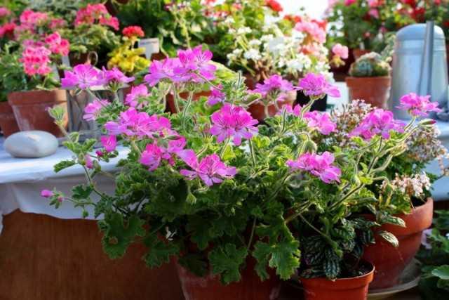 """Species pelargonium - indoor flowers in the """"retro"""" style -Care"""