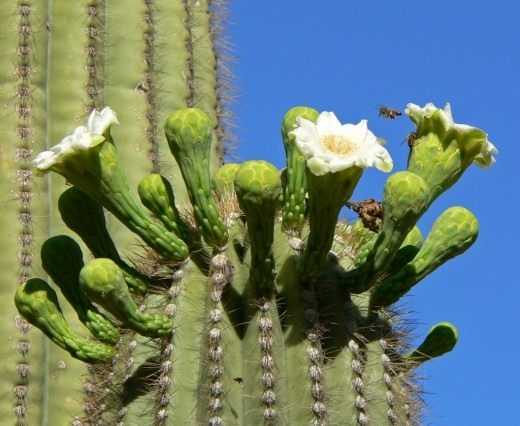 The Saguaro cactus is a living monument of the desert. – leaving
