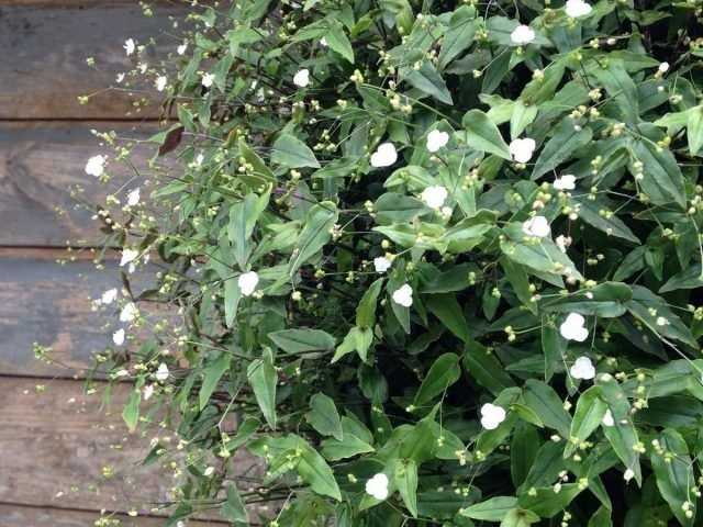 """Tradescantia gibasis – """"white veil"""" for flower beds, containers and window sills-Care"""