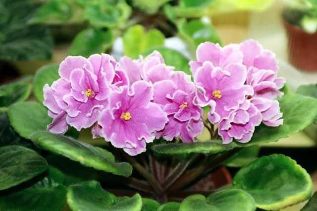Usambara violets - care