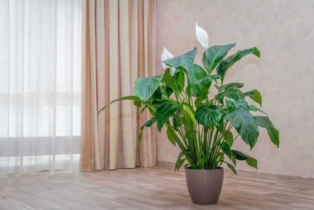 Why do the leaves of spathiphyllum dry?