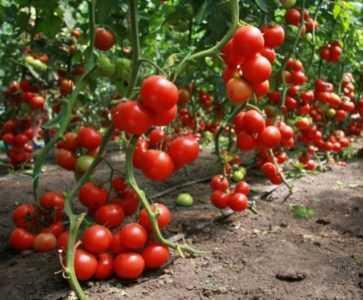 Caracteristicas De Los Tomates Tarpan Farmer