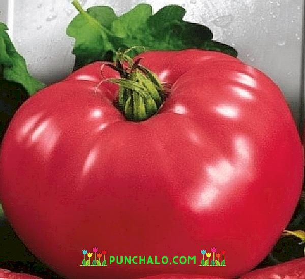 Descripcion De La Pata De Oso De Tomate Farmer