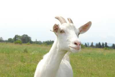 Las razones de la falta de leche de cabra después del parto