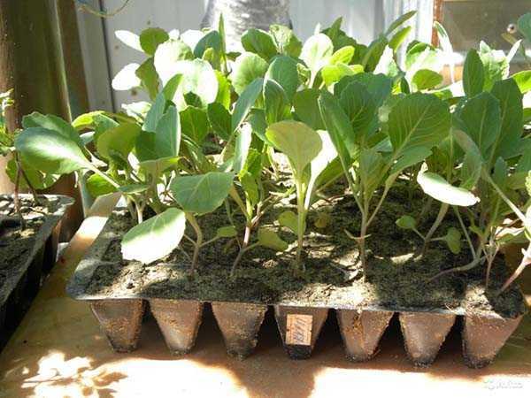 Plantar plántulas de col en campo abierto