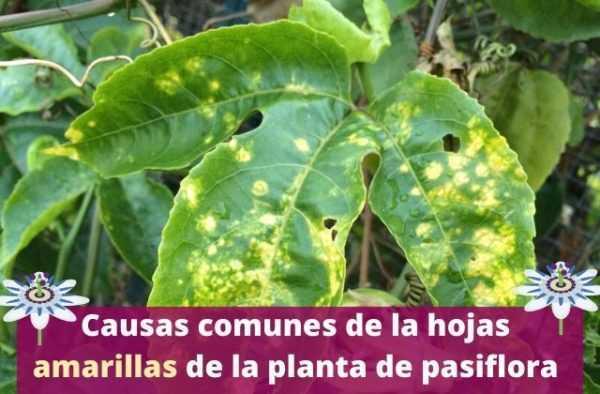 Por Qué Razón Las Plántulas De Col Se Vuelven Amarillas Farmer