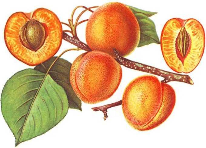 Albaricoque como planta de miel