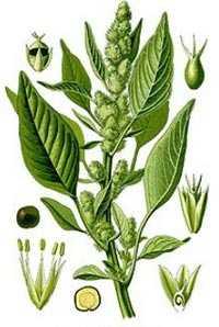 Amaranto como planta de miel