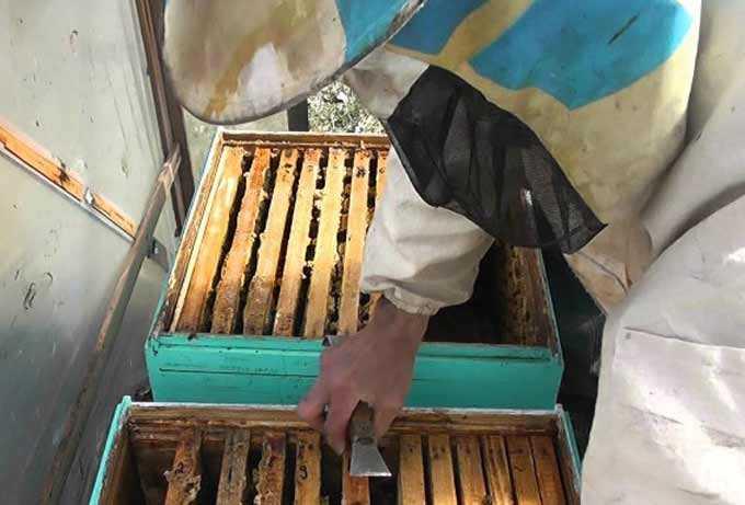 Cuándo y por qué se combinan abejas de diferentes colmenas.