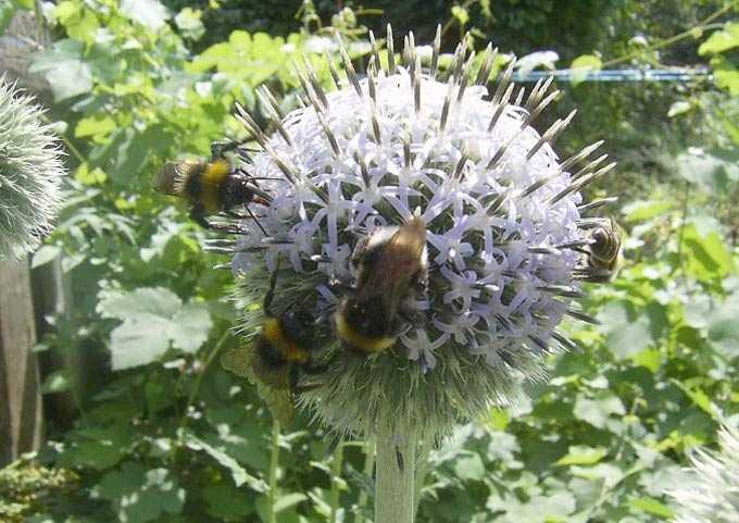 El valor de la mordovia con cabeza esférica como planta melífera