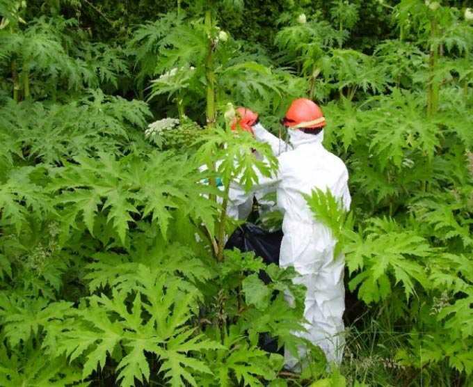 Hogweed: especies utilizadas como plantas de miel
