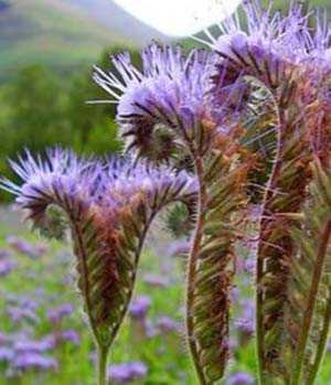 Phacelia y sus beneficios como planta de miel.