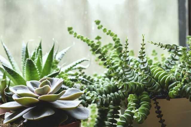 5 de las suculentas más de moda para interiores modernos: hermosas plantas de interior