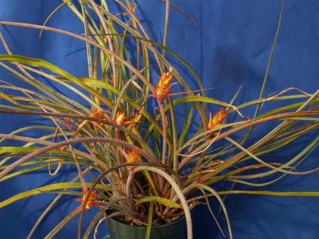 Acantostachis – epífita de bromelia sin pretensiones – Hermosas plantas de interior