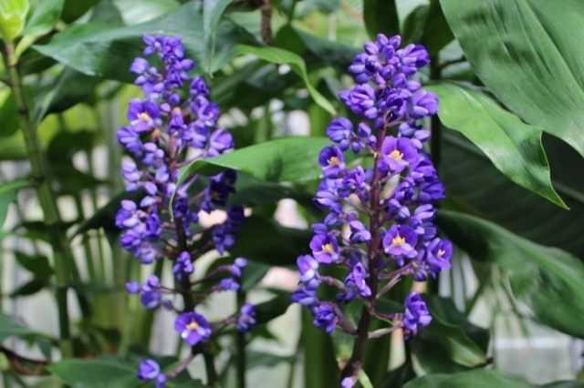 Bouquet dichorizandra – el sueño de un coleccionista – cuidado
