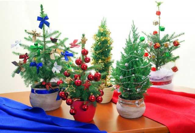 Coníferas vivas en lugar de un árbol de Navidad – Hermosas plantas de interior