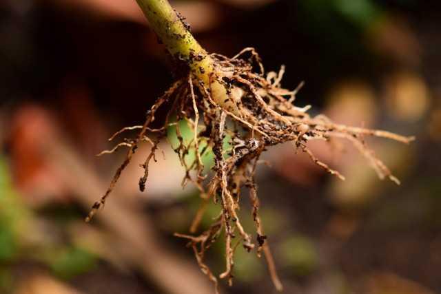 Estimulantes de la formación de raíces de plantas