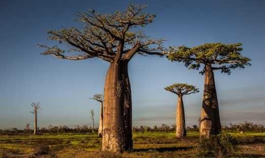 Gigante de la sabana - Baobab - Cuidado