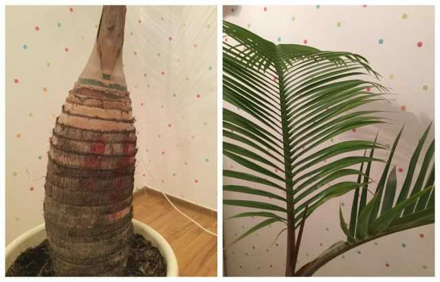 Gioforba – Palma de botella real – Hermosas plantas de interior