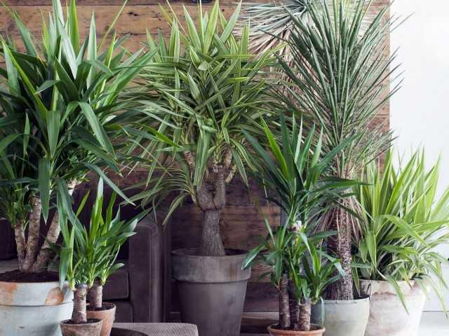 Planta de interior de yuca – cuidado