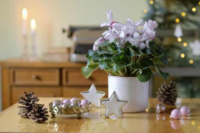 Plantas de interior en flor para el año nuevo y el cuidado navideño.