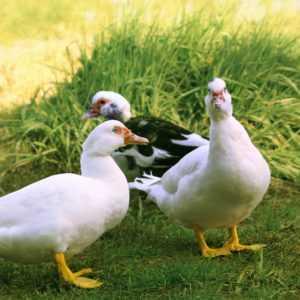 Caractéristiques de l'élevage et de la conservation du mulard de viande de canard