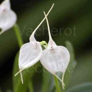 Comment prendre soin d'une orchidée Masdevallia
