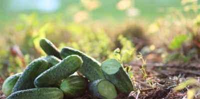 La liste des meilleures variétés de concombres pour différents domaines