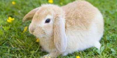 Raisons pour lesquelles une lapine mange ses lapins