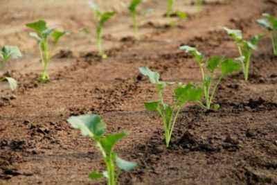 Règles pour semer le chou pour les semis en banlieue