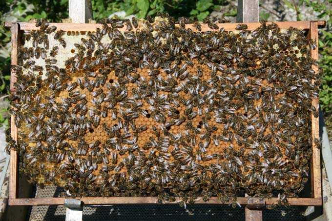 Composition et taille optimales de la colonie d'abeilles
