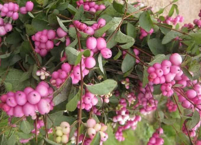 La symphorine comme plante mellifère