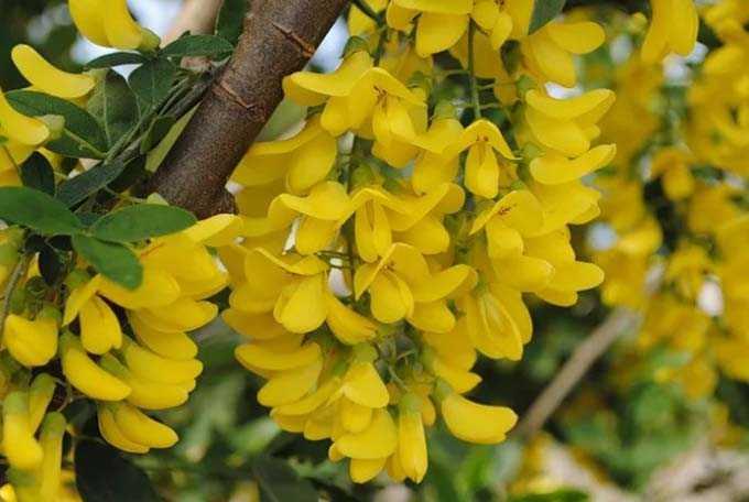 L'acacia et ses bienfaits comme plante mellifère