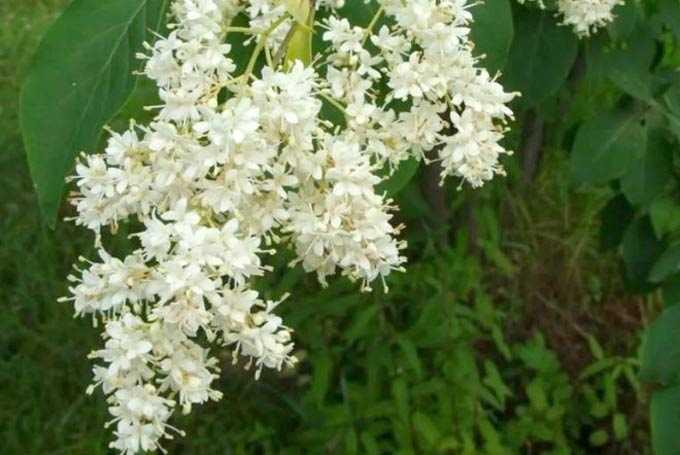 Le lilas et ses bienfaits comme plante mellifère