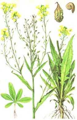 Les avantages du sverbigi oriental comme plante mellifère