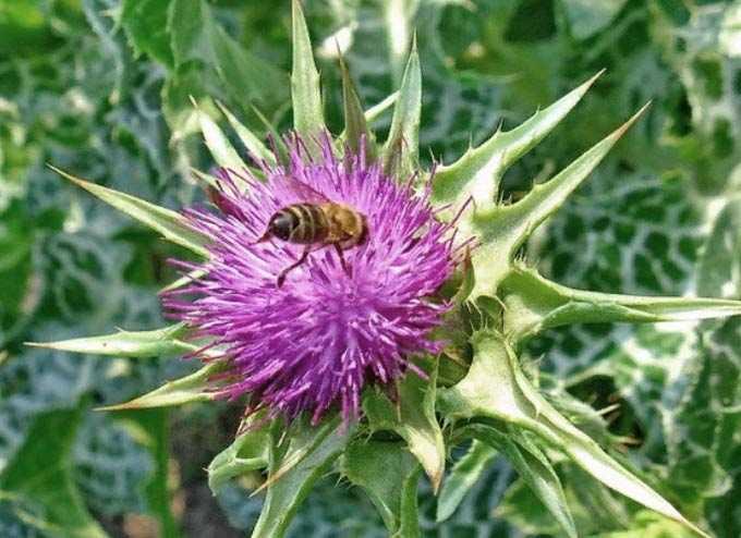 Les bienfaits du chardon-Marie comme plante mellifère