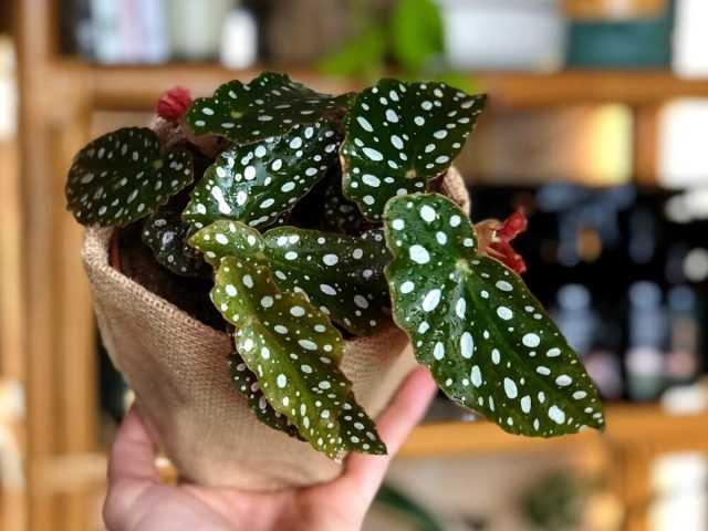 10 bégonias insolites pour les soins de la floriculture d'intérieur