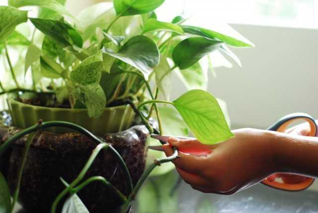 10 règles de base pour prendre soin de la vigne d'intérieur – De belles plantes d'intérieur
