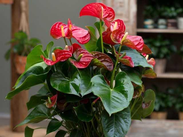 10 règles pour faire pousser de l'anthurium pour des soins de longue floraison