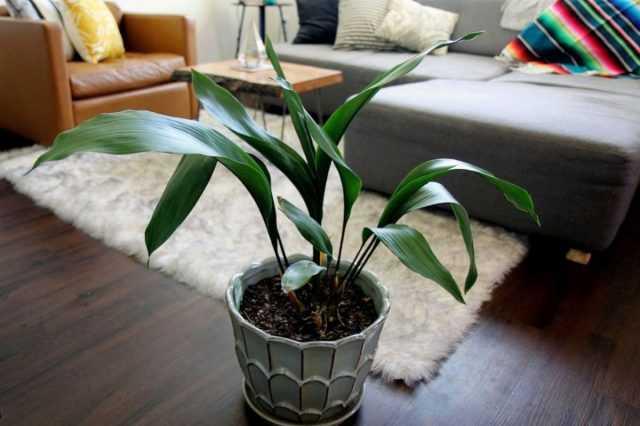 Aspidistra est l'un des soins les plus robustes des plantes d'intérieur
