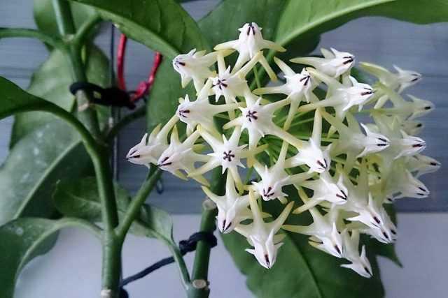 Hoya – inflorescences duveteuses – soins