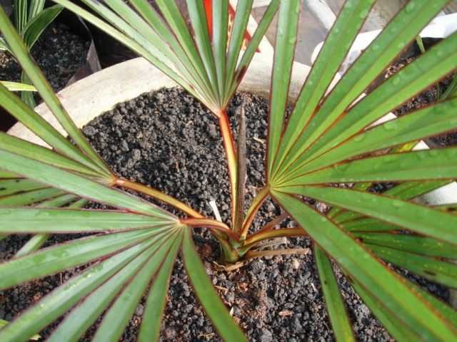 Latania – un palmier de velours capricieux