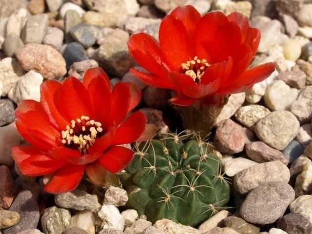Lobivia – le cactus préféré des bureaux – culture et entretien