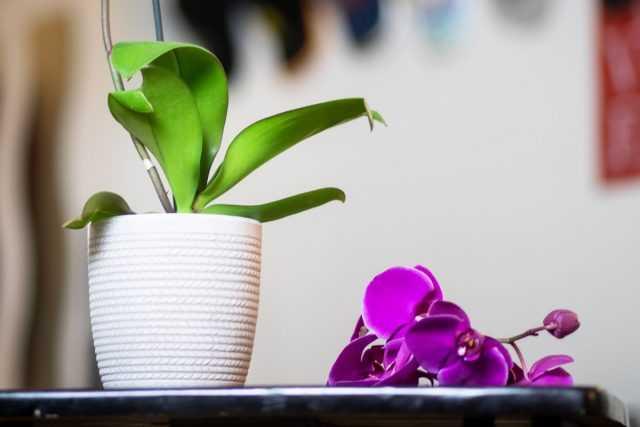 Pourquoi une orchidée perd-elle des fleurs et des bourgeons ?