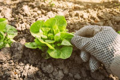 Date di piantare cavoli per piantine