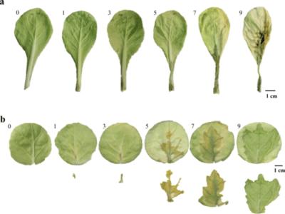 Descrizione dei broccoli Macho F1