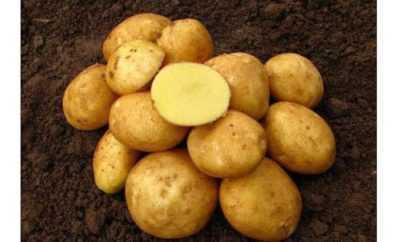 Descrizione della patata Vineta